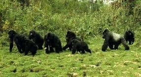 mountain-gorilla-safaris-in-uganda-gorilla-trekking-safaris-in-uganda