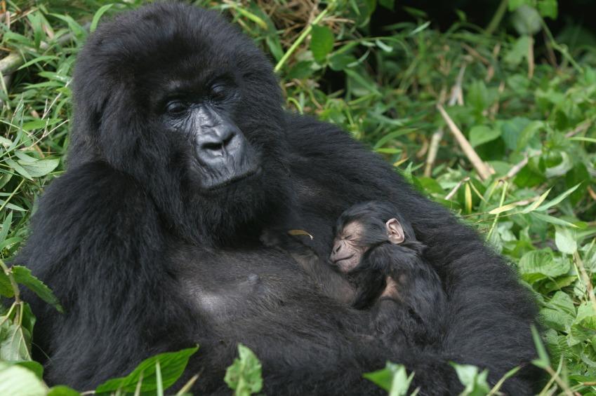 Mountain gorillas in the wild