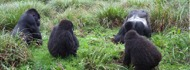 mountain-gorillas-1day rwanda safari