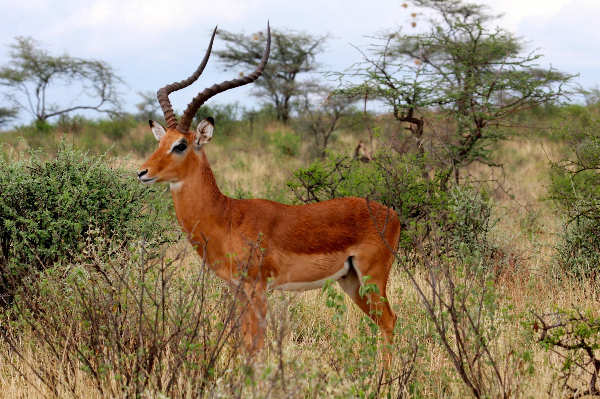 mpala-entelopes