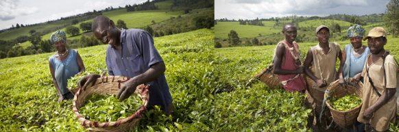 mpanga-tea-estate-agricultural-tours