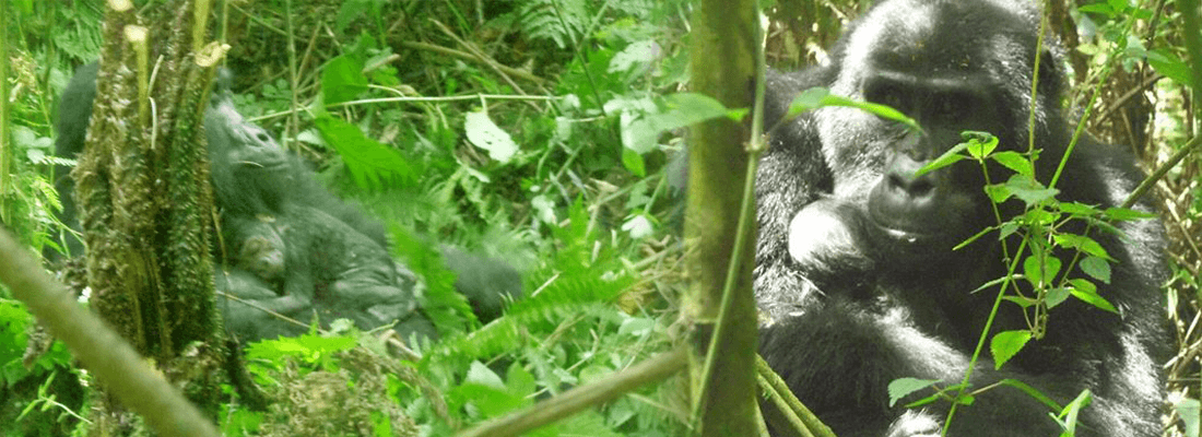 New baby Gorilla born at Bwindi national Park