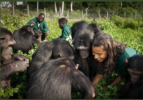 Ngamba Island Chimpanzee Sanctuary-Uganda safari news
