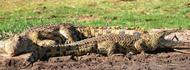 nile-crocodiles-akagera