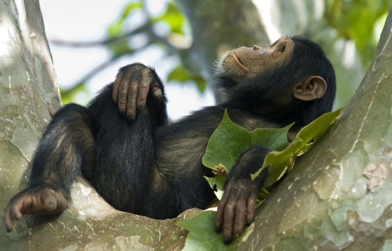 Nyungwe forest chimp Rwanda safaris