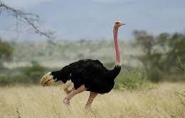 ostrich in kidepo  uganda