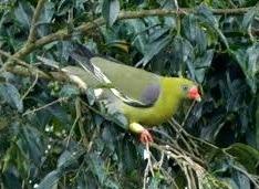 pigeon-yellow