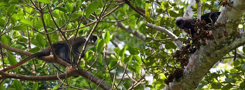 primates-semuliki