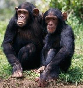 prime safaris chimpanzee