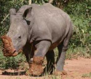 rhino dies -uganda