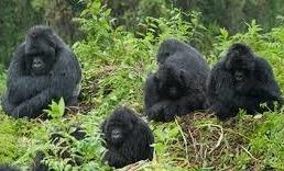 ruhija gorilla family