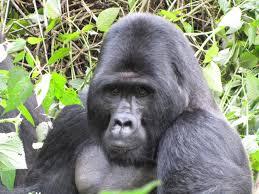 rukina-gorilla
