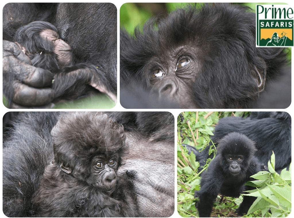 baby gorillas width=