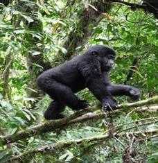 rwanda-gorilla photo