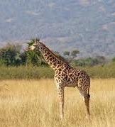 giraffes in akagera rwanda safari
