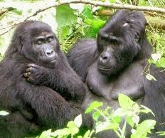 safari gorillas