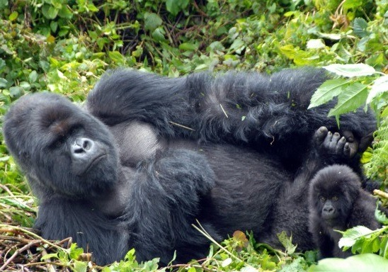 safaris in uganda gorilla