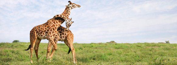 serengati-national-park-east-africa-safaris tanzania safari tour