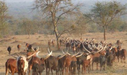 shayi village - cows -uganda