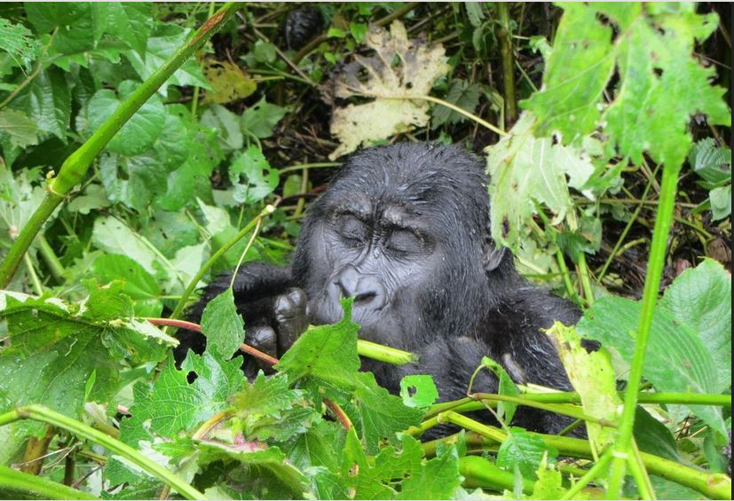 self drive gorilla safaris in uganda 3 days