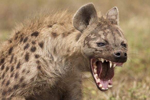 spotted-hyena-uganda-safaris-uganda-tours