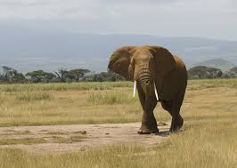 african Elephant in queen elizabeth national park width=