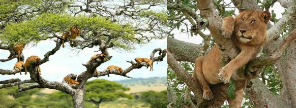 climbing-lion-in-lake-manyara-np tanzania safari tour