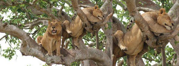 tree-climbing-lions-ishasha uganda safari