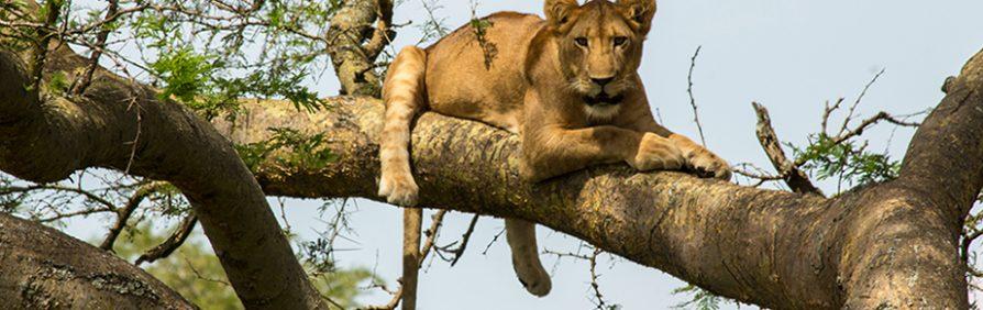 tree-climbing-lions