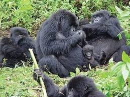 tmoutain gorillas