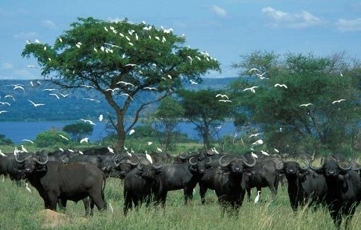 buffalo -murchison safaris and tours