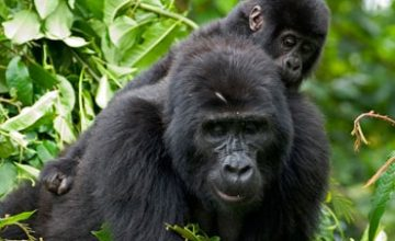 Gorillas & Wildlife Uganda Safari Tour 5 Days uganda tours