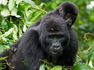 uganda-gorilla-safari