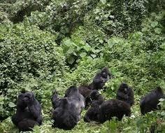uganda gorilla safaris -mgahinga