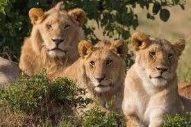 uganda safari image