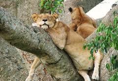 uganda safari -lion
