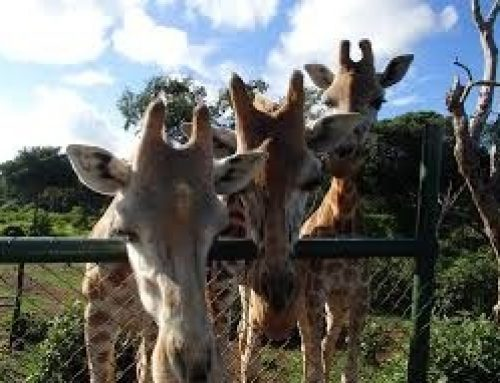 Safari Attractions and Activities just within Entebbe and Lake Victoria -Uganda Safari News