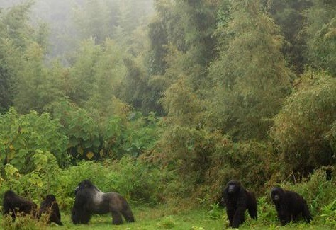 gorillas in virunga volcanoes