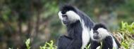 white-colobus-monkey-rwanda safaris