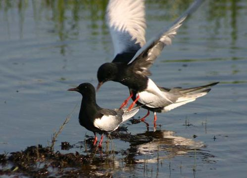 white winged tern , uganda birding safaris