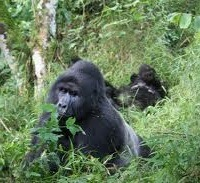 gorillas in the wild-uganda safaris