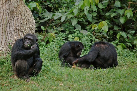 Chimpanzees at uwec uganda
