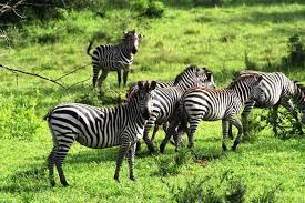 zebra- wildlife safaris in uganda