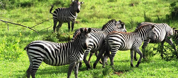 zebras-lake-mburo-np