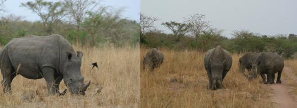 ziwa-rhinos white Rhinos uganda safari