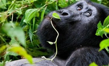 11 Days Gorilla, Chimpanzee and Wildlife Safari in Rwanda