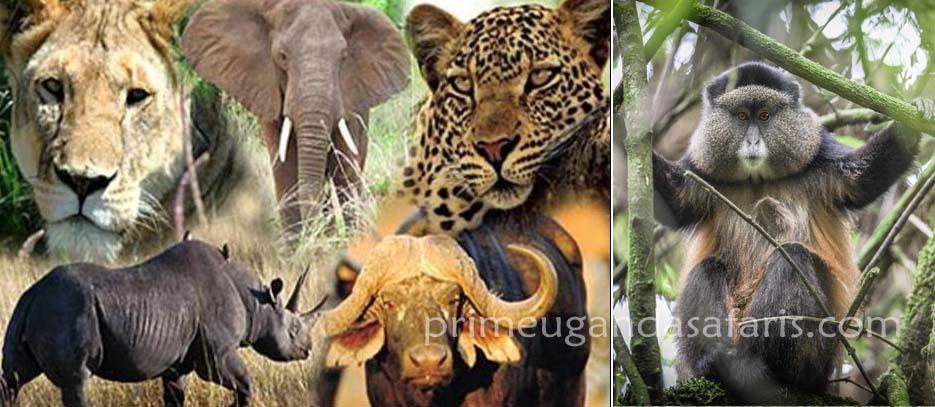 rwanda Uganda group safaris, big 5