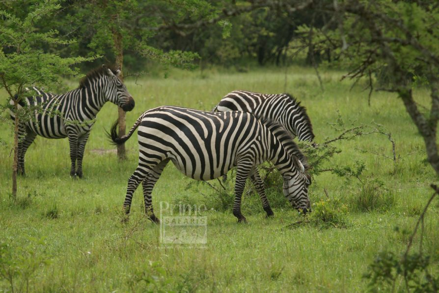 Prime uganda safaris - uganda tours