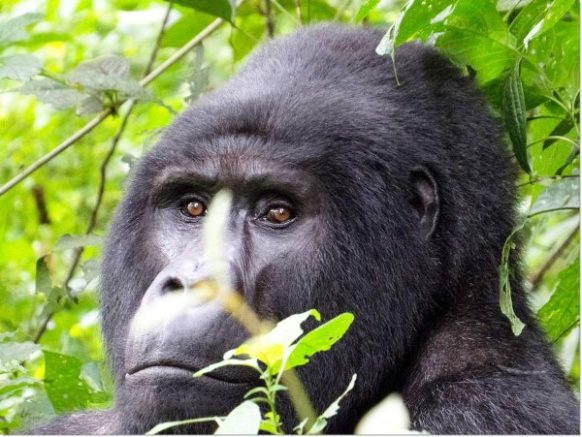 2 Days Gorilla Safari in Rwanda to tour Gorillas in Volcanoes National Park & Kigali City