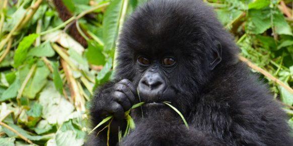 6 Days Rwanda Safari - Gorilla Trekking, Chimpanzee Tracking